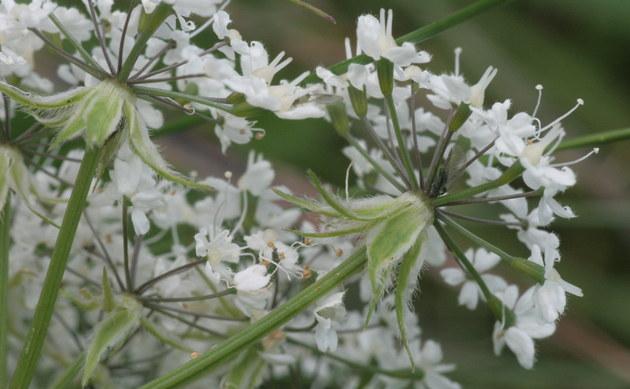 <b>Alpen Kälberkropf  - <i>Chaerophyllum villarsii</i></b>