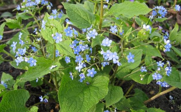 <b>Kaukasus Vergissmeinnicht - <i>Brunnera macrophylla</i></b>