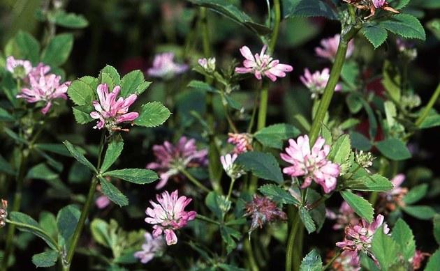 <b>Persischer Klee - <i>Trifolium resupinatum</i></b>