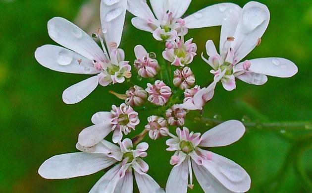 Coriandrum sativum koriander pflanzen in deutschland for Koriander pflanzen