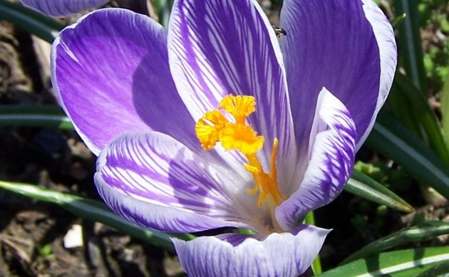 <b>Safran-Krokus - <i>Crocus sativus</i></b>