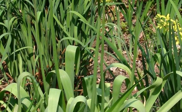 <b>Iran-Lauch - <i>Allium aflatunense</i></b>