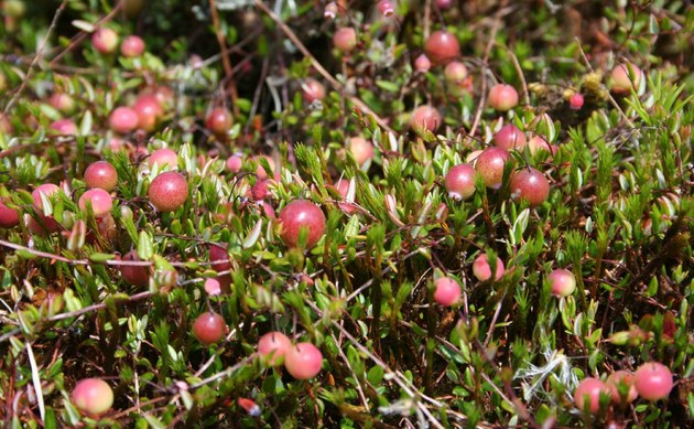 <b>Gewöhnliche Moosbeere - <i>Oxycoccos palustris</i></b>