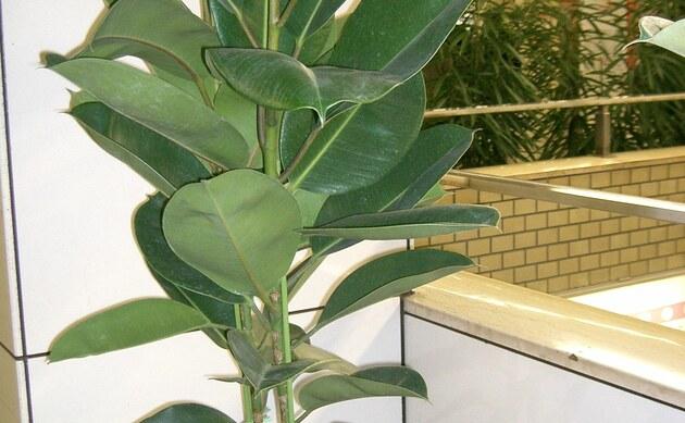 <b>Gummibaum - <i>Ficus elastica</i></b>