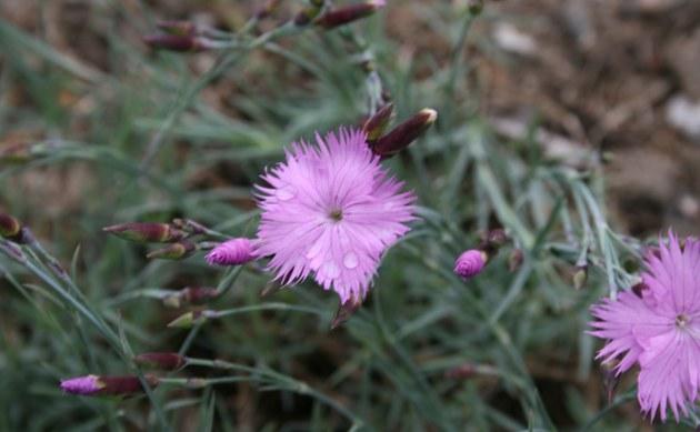<b>Buschnelke - <i>Dianthus seguieri</i></b>