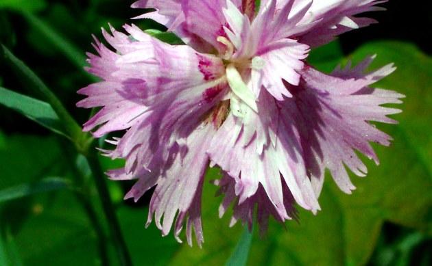 <b>Feder-Nelke - <i>Dianthus plumarius</i></b>