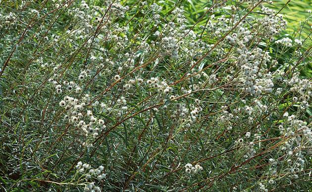 <b>Großblütiges Perlkörbchen - <i>Anaphalis margaritacea</i></b>