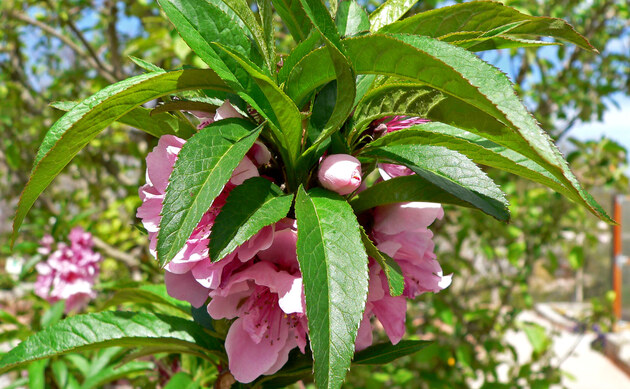 <b>Pfirsich - <i>Prunus persica</i></b>
