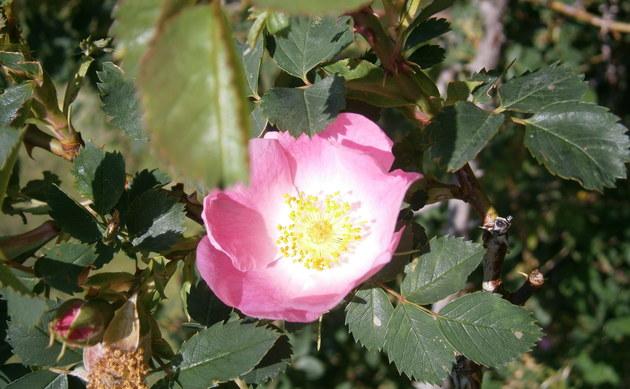 <b>Vogesen Rose - <i>Rosa vosagiaca</i></b>