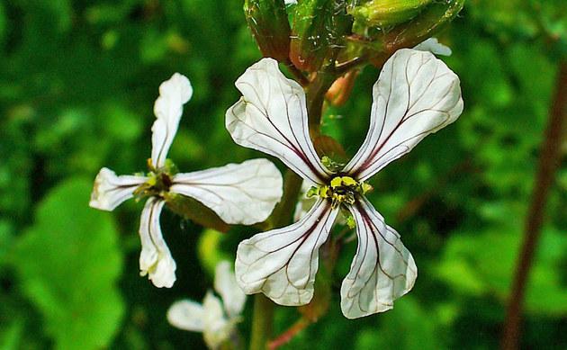 <b>Garten-Senfrauke - <i>Eruca sativa</i></b>