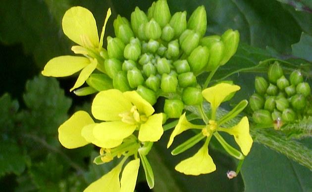 <b>Weißer Senf - <i>Sinapis alba</i></b>