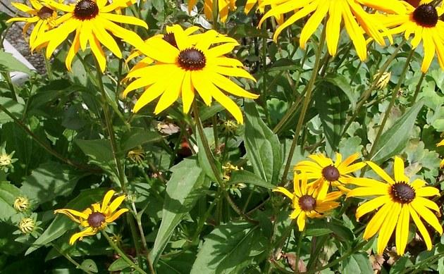 <b>Leuchtender Sonnenhut - <i>Rudbeckia fulgida</i></b>