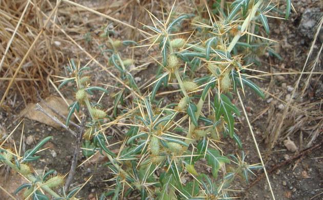 <b>Dornige Spitzklette - <i>Xanthium spinosum</i></b>