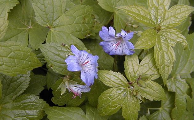 <b>Knotiger Storchschnabel - <i>Geranium nodosum</i></b>