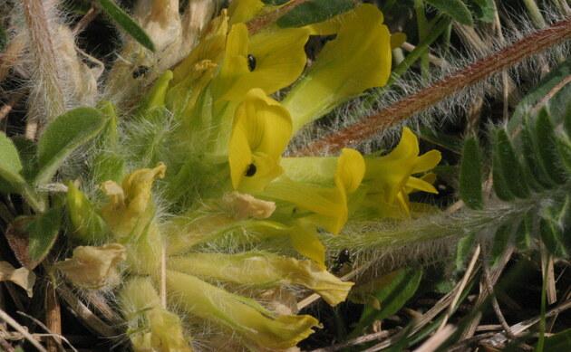 <b>Stengelloser Tragant - <i>Astragalus exscapus</i></b>