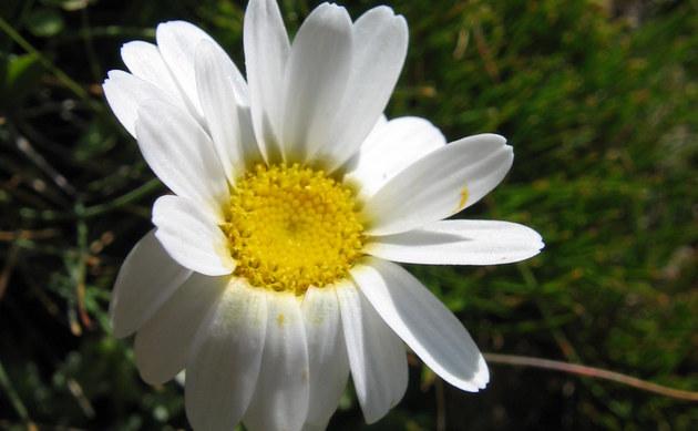 <b>Alpen Wucherblume - <i>Tanacetum alpinum</i></b>