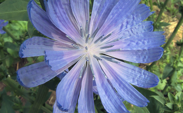 <b>Radiccio - <i>Cichorium intybus var. foliosum</i></b>