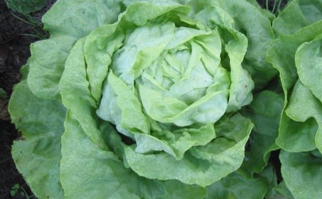 <b>Kopfsalat - <i>Lactuca sativa var. capitata</i></b>