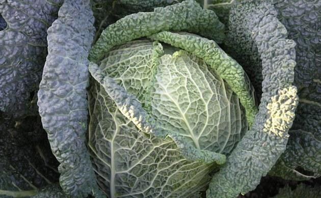 <b>Wirsing - <i>Brassica oleracea var. sabauda</i></b>