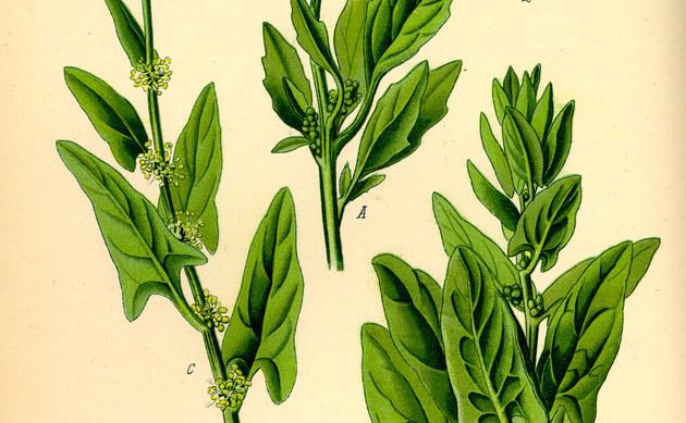<b>Echter Spinat - <i>Spinacia oleracea</i></b>