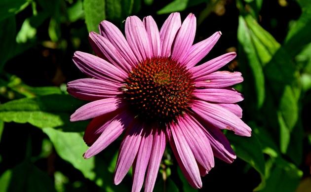 <b>Roter Sonnenhut - <i>Echinacea purpurea</i></b>