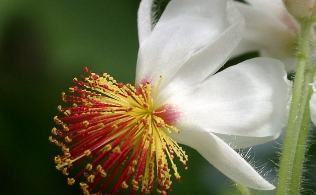 <b>Zimmerlinde - <i>Sparrmannia africana</i></b>