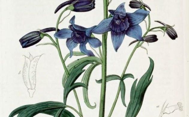 <b>Rittersporn - <i>Delphinium cheilanthum</i></b>
