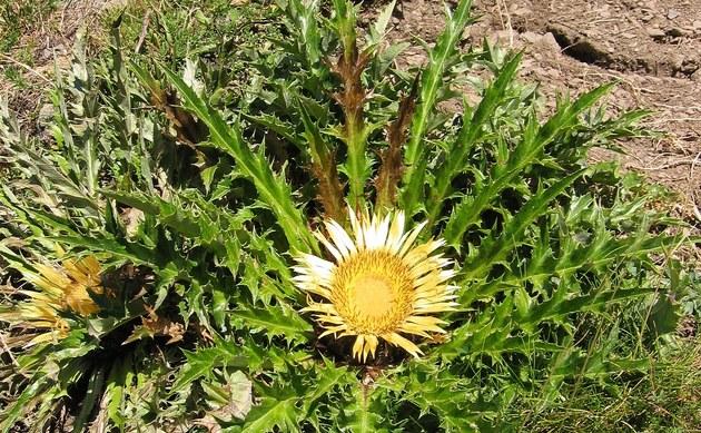 <b>Akanthusblättrige Eberwurz - <i>Carlina acanthifolia</i></b>