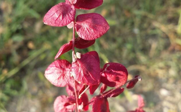 <b>Garten-Melde - <i>Atriplex hortensis</i></b>