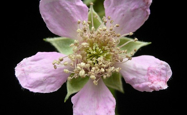<b>Brombeeren - <i>Rubus sectio Rubus</i></b>