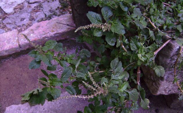 <b>Liegender Fuchsschwanz - <i>Amaranthus deflexus</i></b>