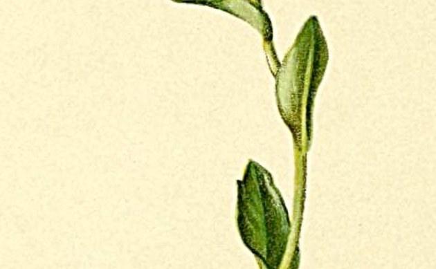 <b>Echte Zwerg-Gänsekresse - <i>Arabis bellidifolia</i></b>
