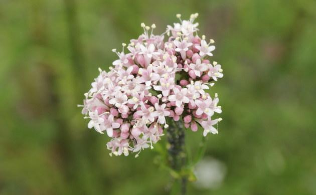 <b>Echter Arznei-Baldrian - <i>Valeriana officinalis</i></b>