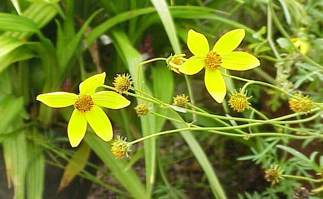<b>Gold-Zweizahn - <i>Bidens ferulifolia</i></b>