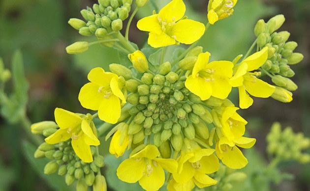 <b>Öl-Rübsen - <i>Brassica rapa subsp. oleifera</i></b>
