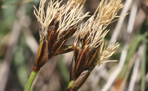 <b>Krumm-Segge - <i>Carex curvula</i></b>
