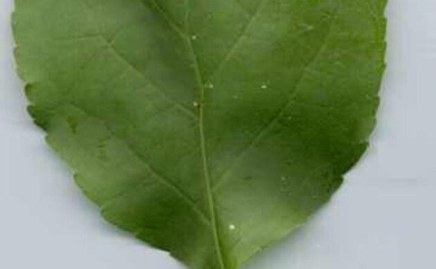 <b>Rundblättriger Baumwürger - <i>Celastrus orbiculatus</i></b>