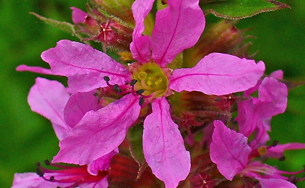 <b>Blutweiderich - <i>Lythrum salicaria</i></b>