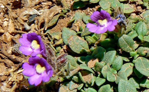 <b>Kleiner Orant - <i>Chaenorhinum origanifolium</i></b>