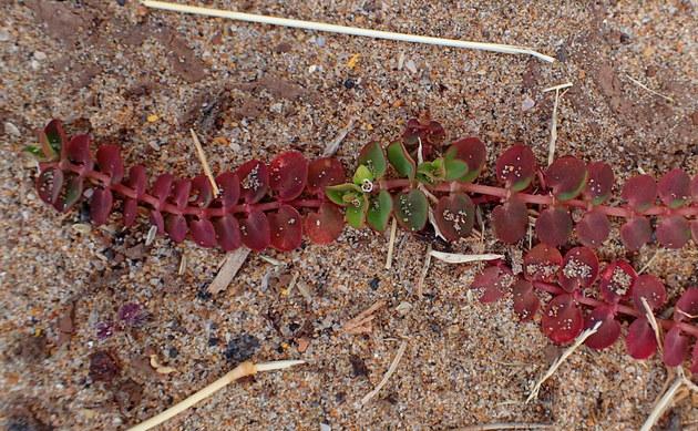 <b>Kriechende Zwerg-Wolfsmilch - <i>Euphorbia serpens</i></b>