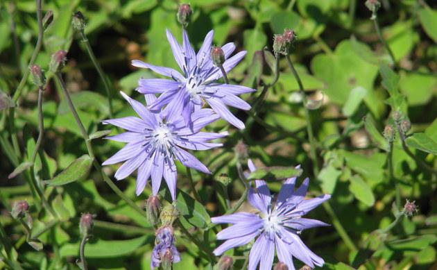 <b>Großblättriger Milchlattich - <i>Cicerbita macrophylla</i></b>