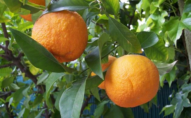 Orange - Citrus aurantium