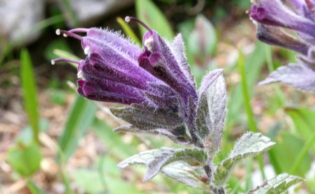 <b>Alpenhelm - <i>Bartsia alpina</i></b>