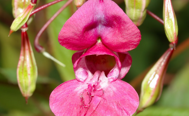 Drüsiges Springkraut - Impatiens glandulifera