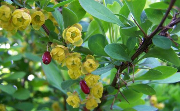 <b>Gewöhnliche Berberitze - <i>Berberis vulgaris</i></b>
