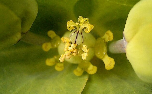 <b>Kreuzbblättrige Wolfsmilch - <i>Euphorbia lathyris</i></b>