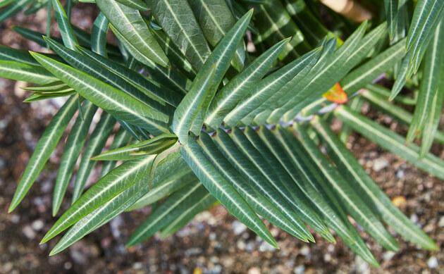 <b>Kreuzblättrige Wolfsmilch - <i>Euphorbia lathyris</i></b>