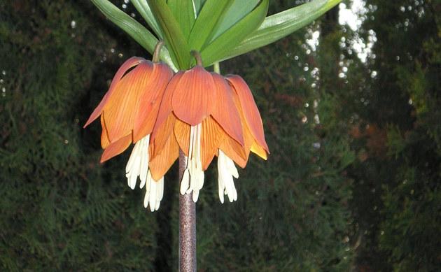 <b>Kaiserkrone - <i>Fritillaria imperialis</i></b>