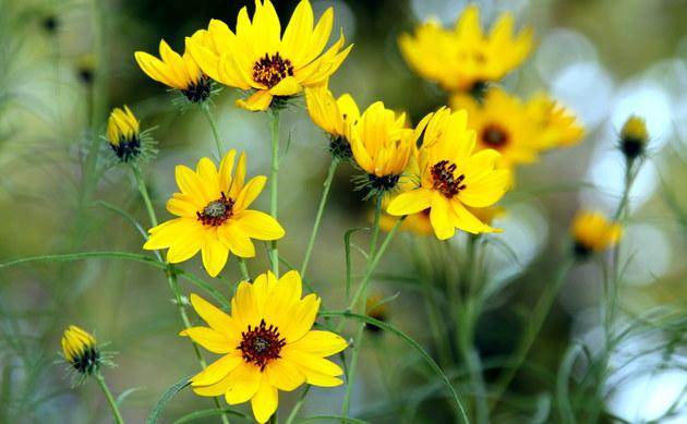 <b>Weidenblättrige Sonnenblume - <i>Helianthus salicifolius</i></b>