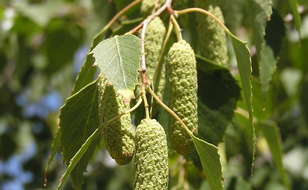 <b>Hänge-Birke - <i>Betula pendula</i></b>